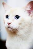 Witte kat die linker kijken Royalty-vrije Stock Afbeeldingen
