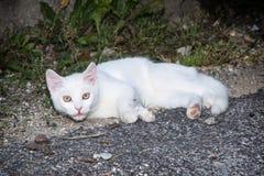 Witte kat die op de grond liggen Royalty-vrije Stock Afbeeldingen