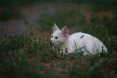 Witte kat die op een andere kat letten stock afbeeldingen