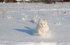 Het lopen witte kat Stock Afbeelding