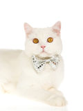 Witte kat die vlinderdas draagt Stock Foto's