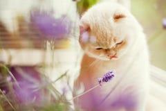 Witte kat en lavendel Royalty-vrije Stock Fotografie