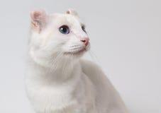 Witte kat met blauwe ogen Stock Foto
