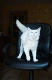 Witte kat met blauwe ogen en dichtbegroeide staart Stock Foto