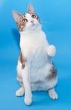 Witte kat met grijze vlekken die op blauw zitten Stock Fotografie