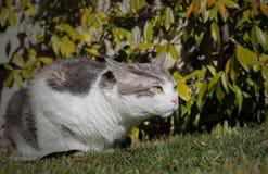 Witte kat met groene ogen klaar aan te vallen Stock Fotografie