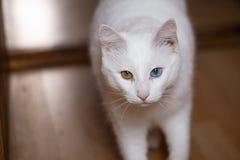 Witte kat met slecht gecombineerde ogen stock foto