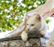 Witte kat op lijst met vliegsjaal 1 Stock Foto