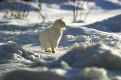 Witte kat op sneeuw Stock Afbeeldingen