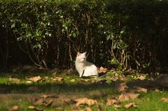 Witte kat in slaperige luie stemming Royalty-vrije Stock Foto's