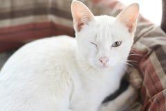 Witte kat van Thaise Saim-katten Stock Fotografie
