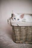 Witte katjeszitting in een rieten mand Stock Afbeeldingen