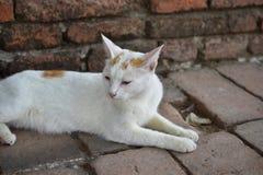 Witte Katten Stock Afbeeldingen