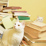 Witte katten en een bos van boeken Selectieve nadruk stock fotografie