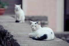 Witte katten met zwarte staarten die in gras stellen royalty-vrije stock fotografie
