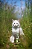 Witte kattenzitting Royalty-vrije Stock Foto