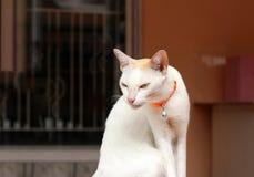 Witte kattenzitting en oranje kattenriem Het is een klein geacclimatiseerd vleesetend zoogdier stock afbeelding