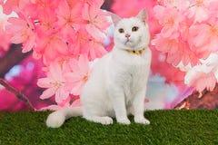 Witte kattenzitting neer op roze backgroud Stock Fotografie