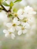 Witte kersenbloem Royalty-vrije Stock Foto's