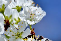 Witte kersenbloemen stock afbeeldingen
