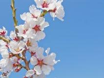 Witte kersenbloemen Royalty-vrije Stock Foto
