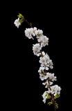 Witte kersenbloemen Royalty-vrije Stock Afbeelding