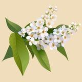 Witte kersenbloemen met bladeren en knop Stock Fotografie