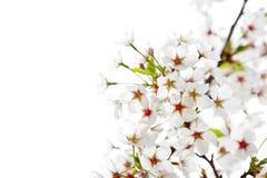Witte kersenbloesem Royalty-vrije Stock Foto's