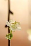 Witte kersenbloesem Royalty-vrije Stock Fotografie