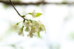 Witte kersenbloesem Stock Foto