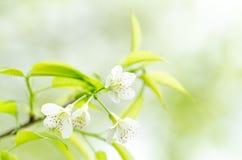 Witte kersenbloesem Stock Afbeelding