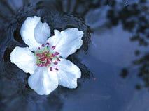 Witte kersenbloesem Stock Afbeeldingen