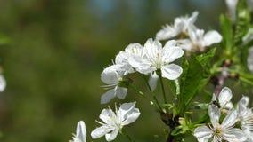 Witte kersenbloesem in de wind stock videobeelden