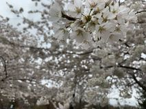 Witte kersenbloesem royalty-vrije stock afbeeldingen