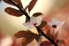 Witte kersenbloesems Royalty-vrije Stock Foto's