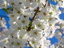 Witte kersenbloesems Royalty-vrije Stock Afbeelding
