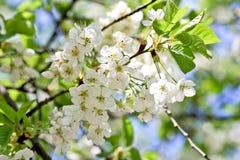 Witte kersenbloesems Stock Foto