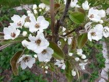Witte kersenbloesems in de lente Stock Foto's