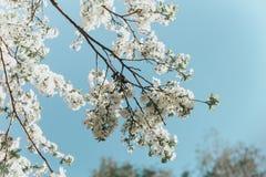 Witte kersenbloesems in de lentezon met blauwe hemel stock afbeelding