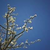 Witte Kersenbloesems in duidelijke hemel stock foto's