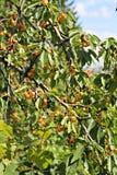 Witte kersenvruchten op de boom Stock Foto's