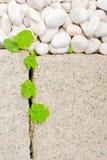 Witte kiezelsteen en pasgeboren kruipend oxalisblad Stock Foto's