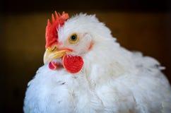 Witte kip Royalty-vrije Stock Foto's