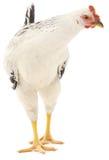 Witte kip Stock Foto's