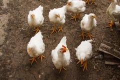 Witte kip die ter plaatse lopen Stock Foto's