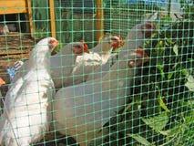 Witte kippen die netel op het organische landbouwbedrijf eten royalty-vrije stock afbeelding