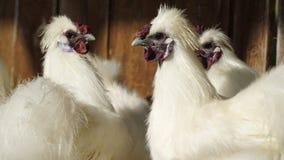 Witte kippen en haan Stock Afbeeldingen