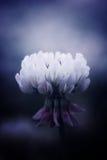Witte klaver Stock Fotografie