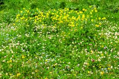 Witte klaver in het groene gras royalty-vrije stock foto