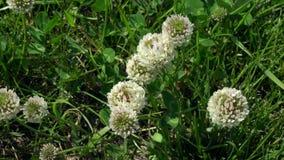Witte klaverbloemen onder gras stock videobeelden